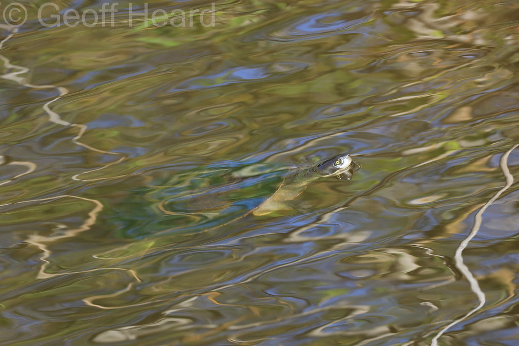 Macquarie Turtle (Emydura macquarii)