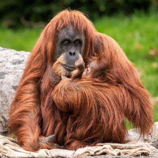 Orangutan_CZ131021(09)
