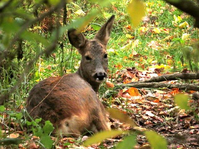 European roe deer, Capreolus capreolus, Rådjur
