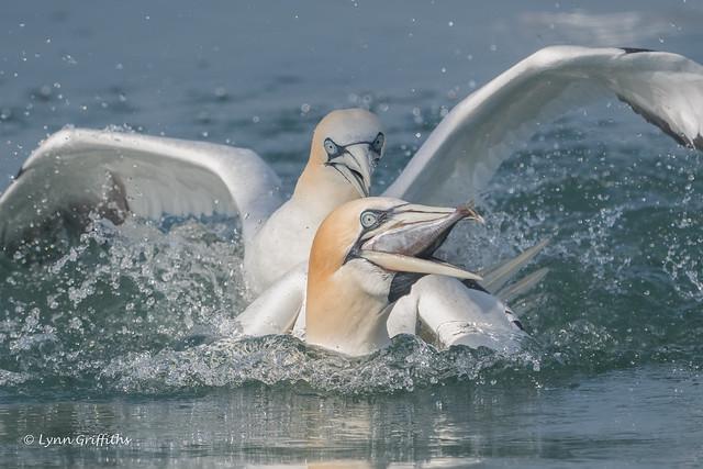 Gannets fighting over supper 850_7164.jpg