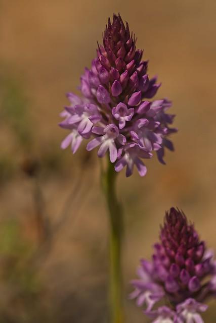 Sounion fauna/wild orchid