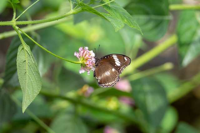 black and white Blue moon butterfly (Hypolimnas bolina)