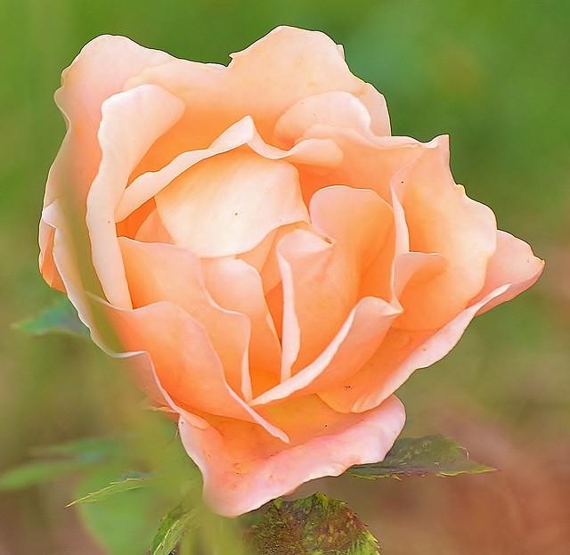 Rose!