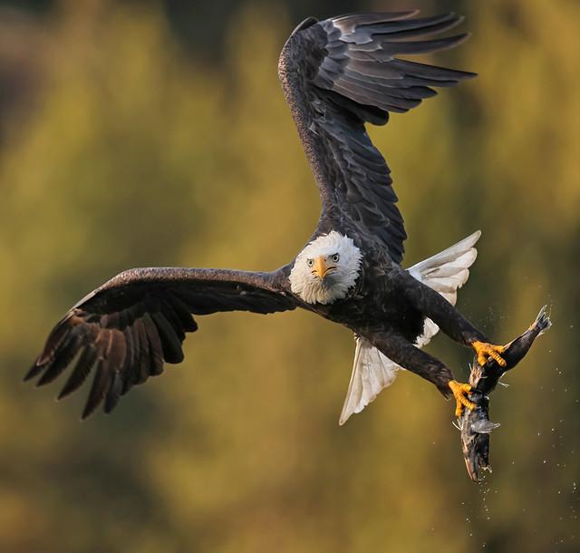 Eagle Season Begins in November