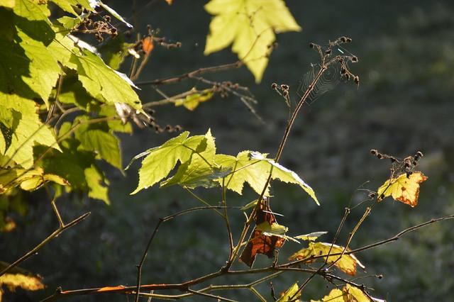 DSC_0202 leaf and Fruit