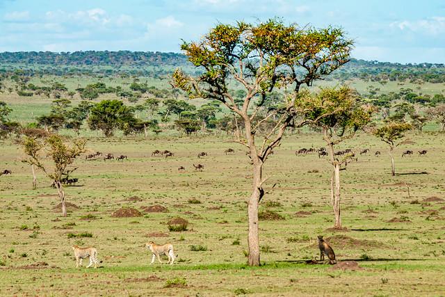 Cheetahs on the hunt