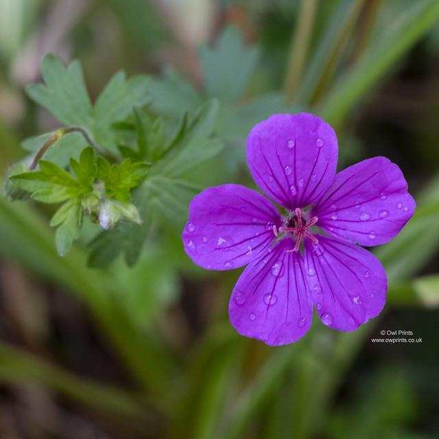 Geranium 'Dylis'