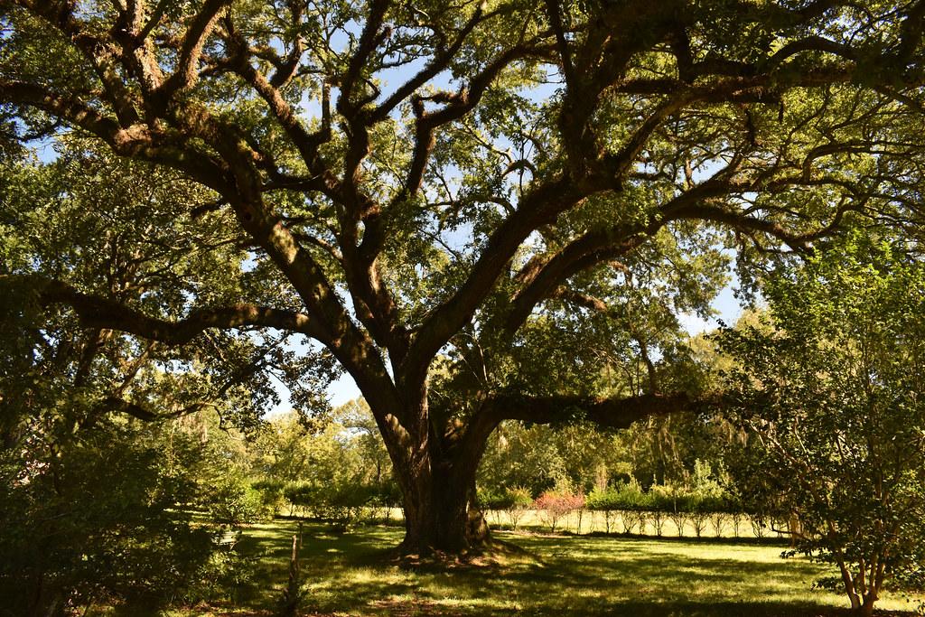 Black Oak on Melrose Estate
