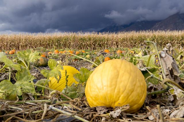 Yellow Pumpkin, Dark Sky