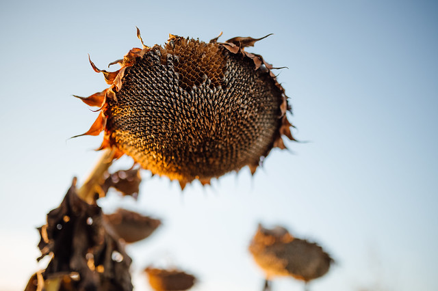 Dry sunflower with missing seeds close-up