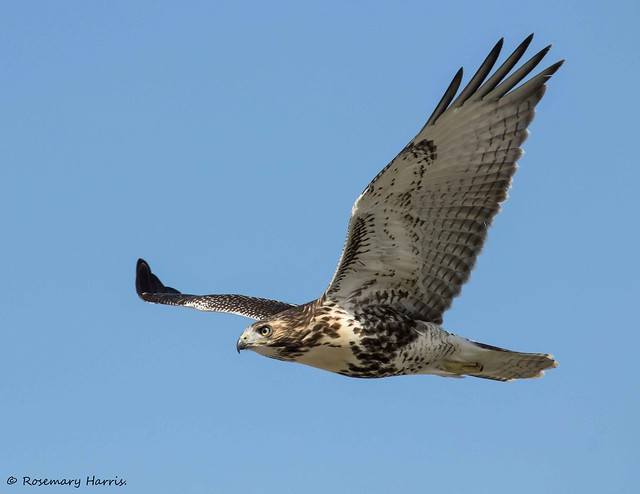Red-tailed Hawk - Juvenile