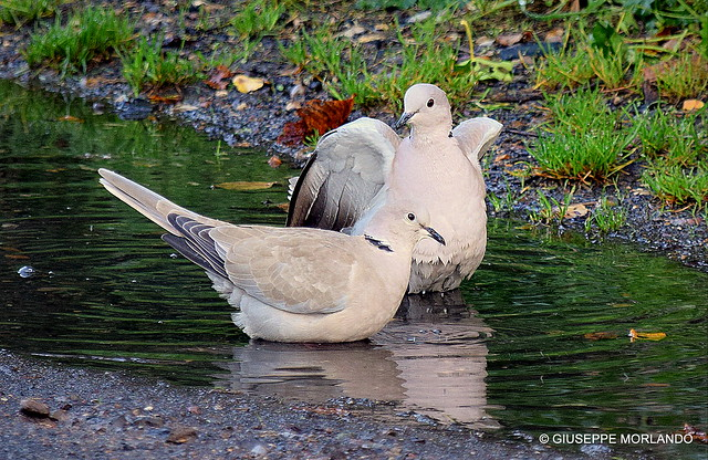 Bathing doves