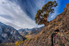 Tree Over the Canyon