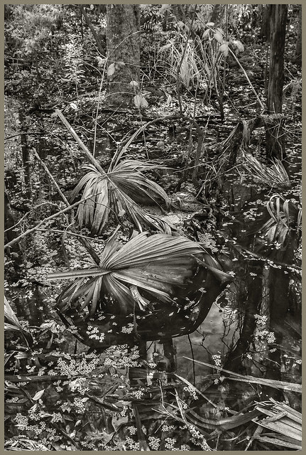 Lake Woodruff IR #88 2021; Floodplain Swamp with Palm Leaves & Duckweed