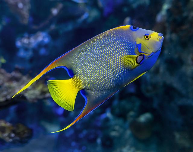 Queen Angelfish, Holacanthus ciliaris.