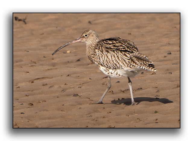 Curlew, Holy Island.