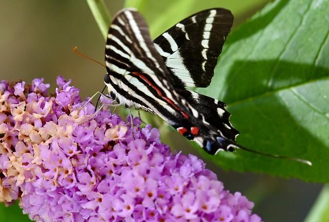 Zebra Swallowtail feeding 17 July 2021
