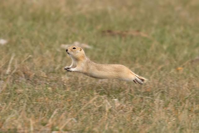 Richardson's Ground Squirrel Squirrel