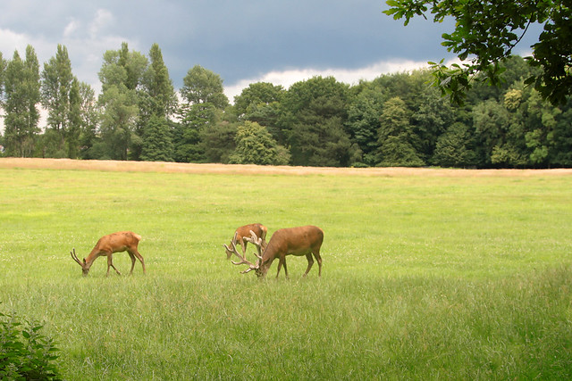 Red Deer - Wollaton Hall and Park, Nottinghamshire 2021