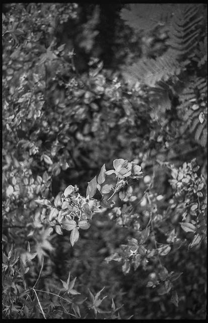 looking down, miniature roses, japanese maple leaves, fern, yard, Asheville, NC, Ansco Super Memar rangefinder, Fomapan 200, HC-110 developer, 10.8.21