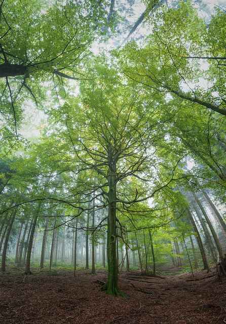 Majestic beech somewhere in the Black Forest