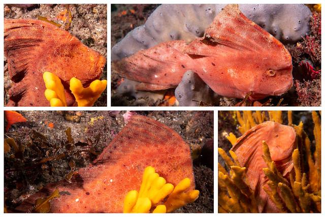 3 Red indian fish #marineexplorer