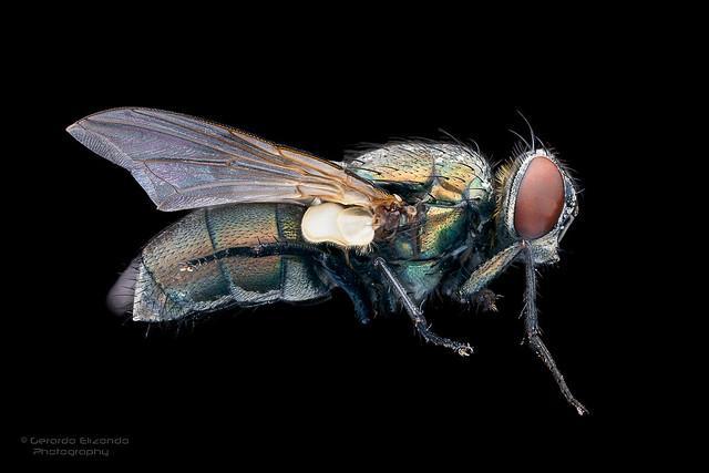 Fly (macro 2x)