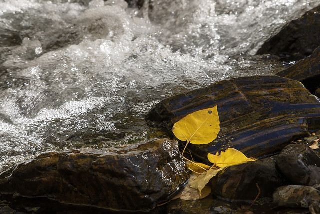 Cottonwood Leaf Beside the Bubbling Rush of the Creek
