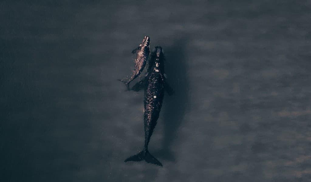 Le changement climatique affecterait les baleines franches australes