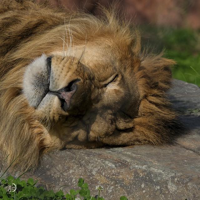 Big cat snoozing