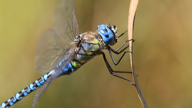 Southern Migrant Hawker / Blue-eyed Hawker
