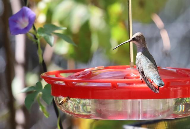 Black-chinned Hummingbird female Bee rp 2021 10 02 (2)