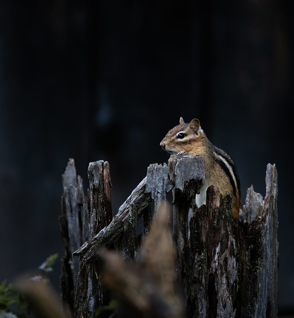 Chipmunk on the Lookout