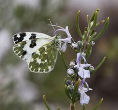 Bath White Butterfly feeding on rosemary