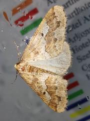 Grou00dfer Frostspanner (Erannis defoliaria) (1)