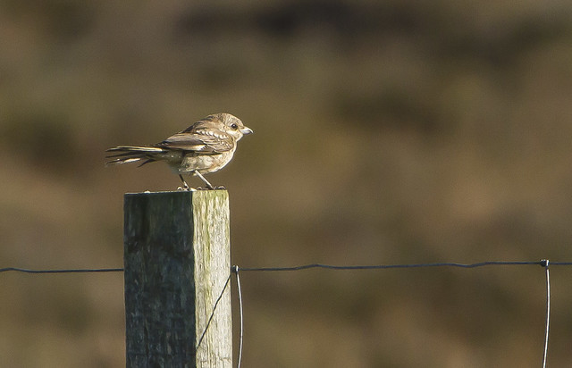 Woodchat Shrike  Aith Shetland Isslands Scotland October 2021