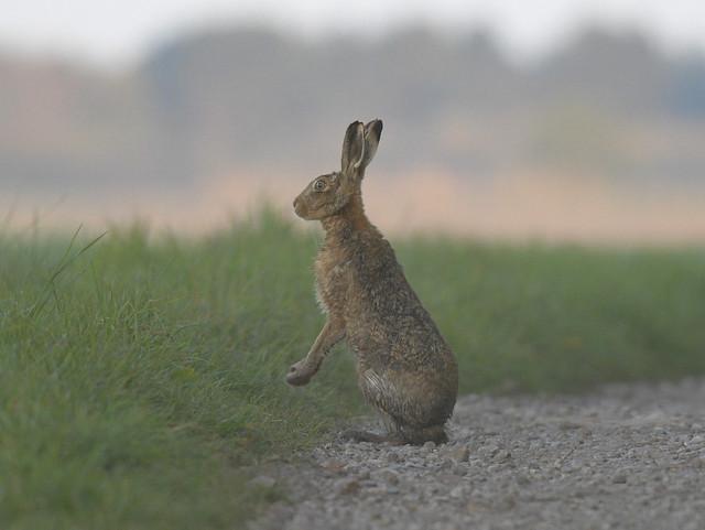Hare.Sunrise.