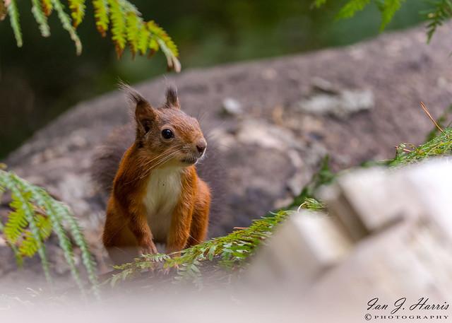Red squirrel.  Sciurus vulgaris