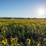 20210919 Enokimae Sunflower Field 4