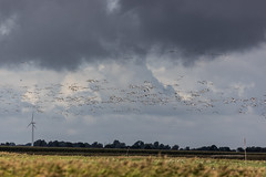 Migratory Bird Swarms at the Eider River