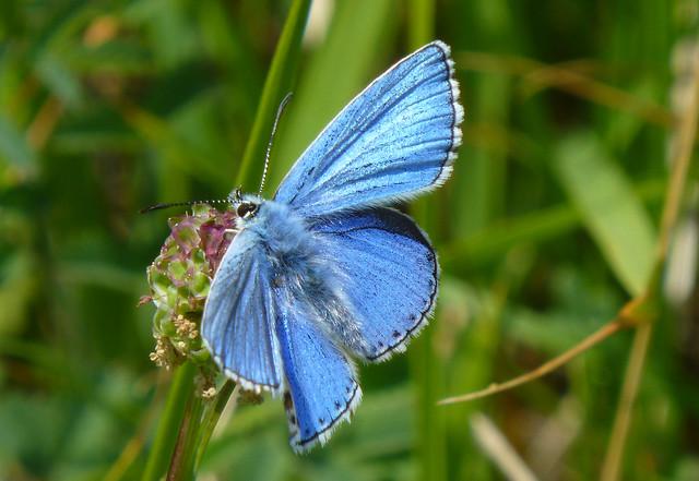 Adonis Blue, Durlston CP, Dorset, UK