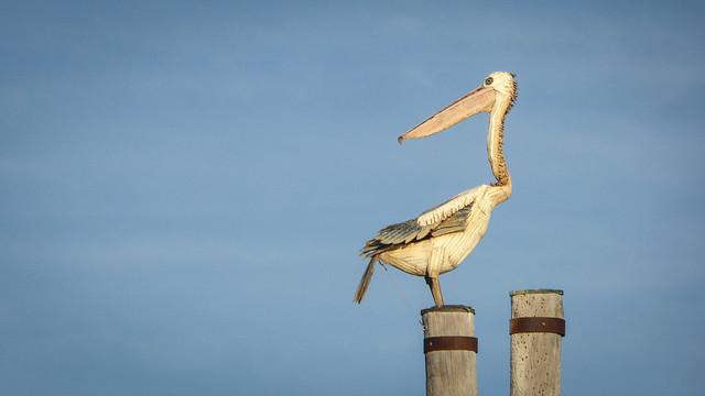 Backward-Looking Pelican