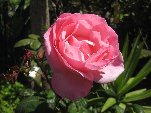 A Pink Rose Bloom - Preston