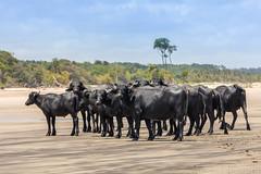 Buffalos of Marajo