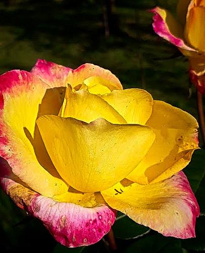Rose d'automne.