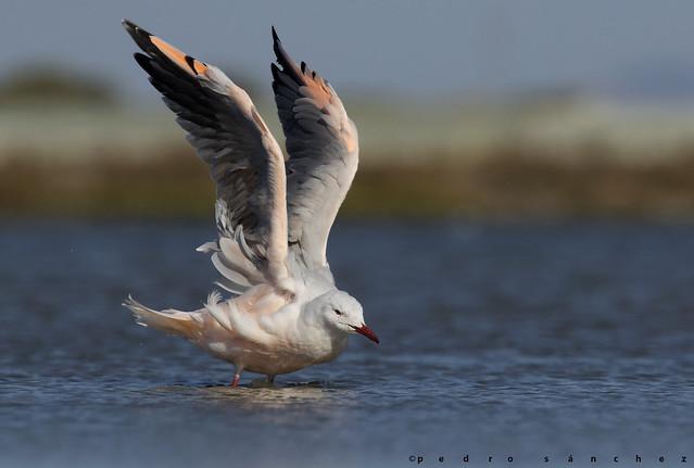 La gaviota que se tiñe de rosa / The seagull that turns pink