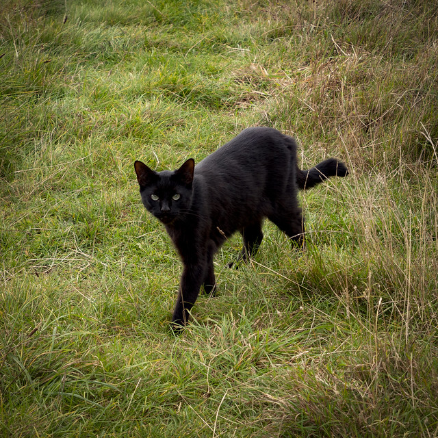 Black Cat, Wanstead Park