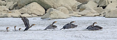 When a Cormorant has a fish, it gathers an entourage! (major crop, but it tells the storyud83dude0a)
