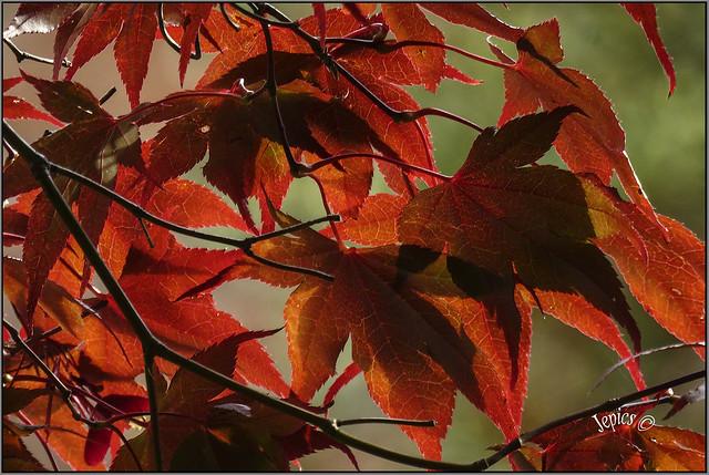 Japanese Autumn In An English Garden.