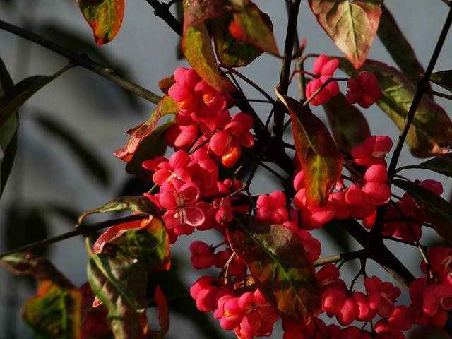 QA184287 fruit